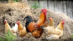 Taiwan precisou sacrificar cerca de 7 mil frangos para conter surto de gripe aviária