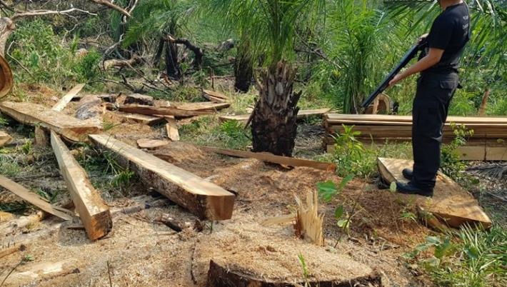 Árvores sendo desmatadas; pedaços de troncos cortados no chão