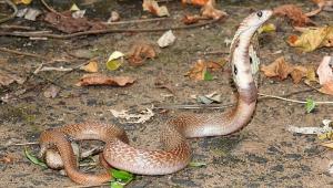 Estudante picado por cobra naja está em estado grave