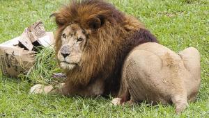 Zoológico de Curitiba anuncia morte de leão Simba