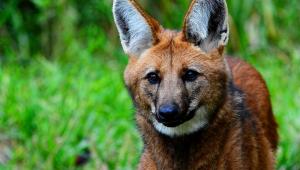 Lobo-guará, que vai estampar a nota de R$ 200, está ameaçado de extinção