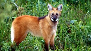 'Com a doença indo embora, o lobo-guará vai se aposentar', afirma Guedes sobre fim da nota de R$ 200