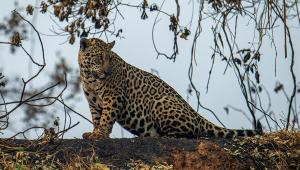 Onça-pintada resgatada durante incêndio no Pantanal é devolvida à natureza