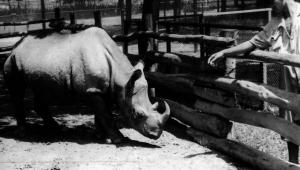 Sabia que uma rinoceronte já foi eleita vereadora de São Paulo?