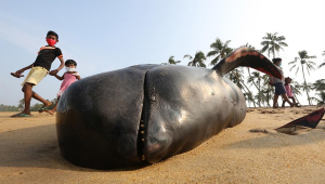 Quase 100 baleias-piloto morrem encalhadas na Nova Zelândia