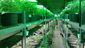 ONU retira maconha da lista de drogas mais perigosas; Brasil votou contra