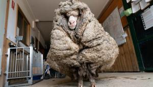 Ovelha é encontrada em floresta da Austrália com 35 kg de lã acumulados; veja vídeo