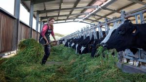 Funcionária alimenta vacas em fazenda de Menorca, na Espanha