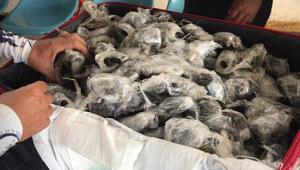 Filhotes de tartaruga são encontrados dentro de mala em Aeroporto das Ilhas Galápagos