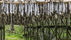 Varal de secagem de bacalhau na Noruega