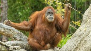 Primatas recebem vacina experimental contra a Covid-19 para animais