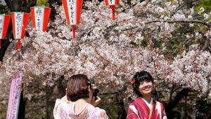 Floração das cerejeiras aconteceu mais cedo do que nunca no Japão