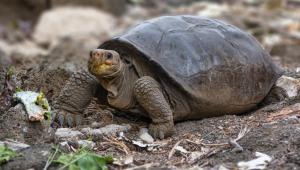 Tartaruga-gigante da espécie Chelonoidis phantasticus é encontrada em Galápagos