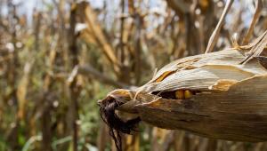 Espiga de milho ainda coberta pelas folhas, com alguns grãos aparentes, aparece em primeiro plano em plantação na cidade de Limeira