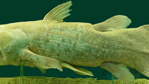 Peixe da espécie Coelacanth exposto no Museu de História Natural de Viena, na Áustria