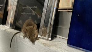 ratos no centro correcional de Wellington