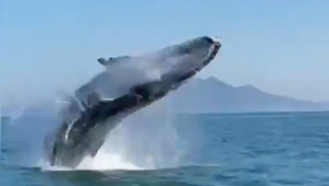 baleia dando salto