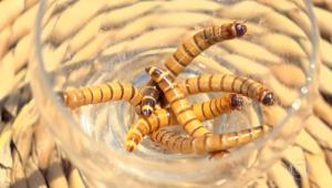 larvas de besouro