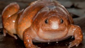 sapo zumbi encontrado na Amazônia
