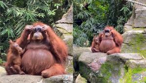 montagem com duas fotos do orangotango provando óculos