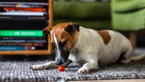Cachorro branco e caramelo vira lata em cima de um tapete cinza e brincando com uma bolinha vermelha