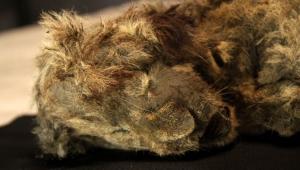 filhote de leão encontrado preservado na rússia