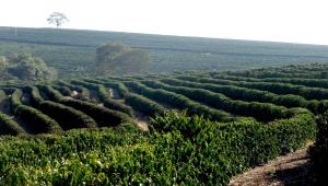 Plantação de café danificada pelas geadas