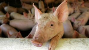 Porco apoiado em barra de ferro e outros atrás em criação de suínos