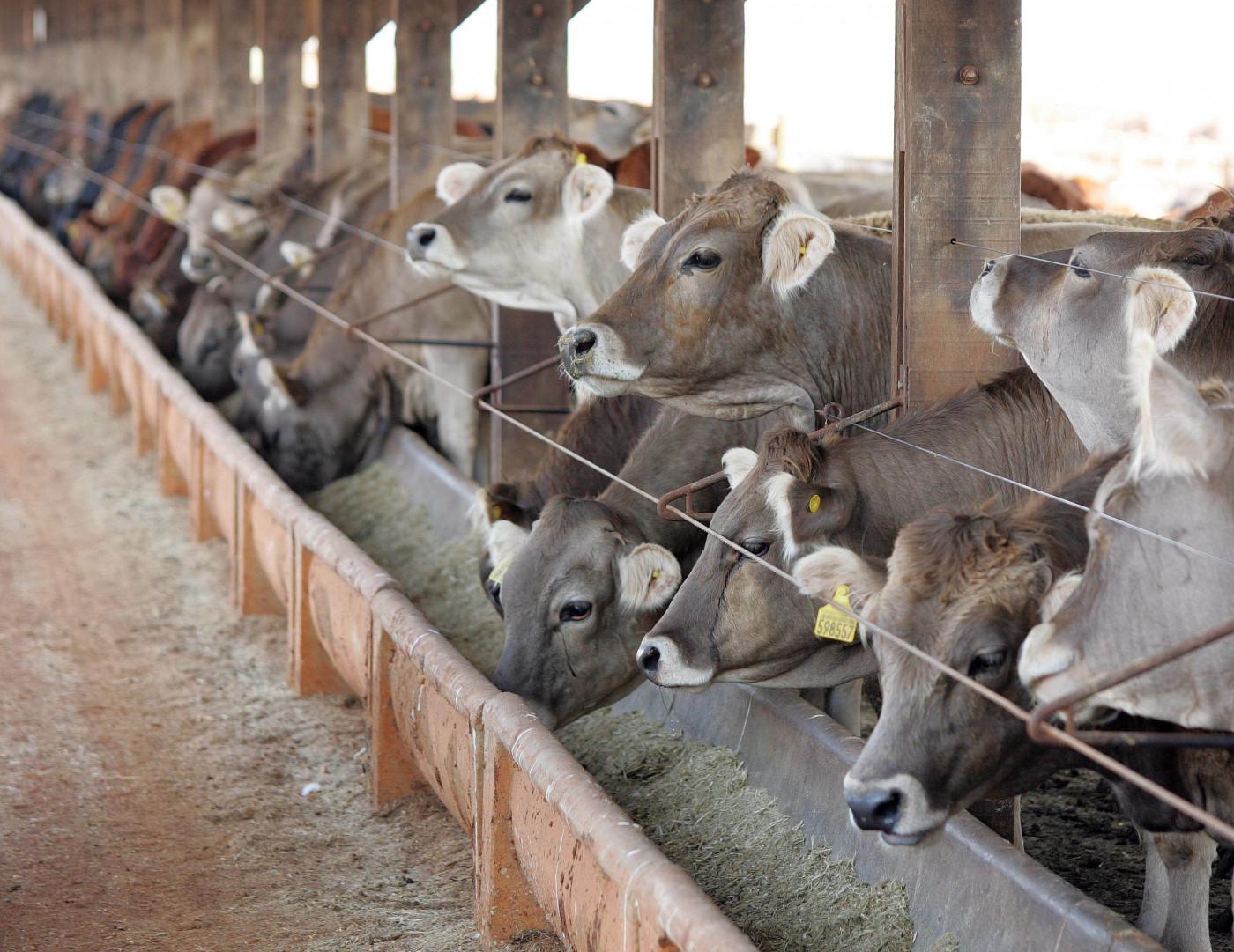 Vários bois um ao lado do outro comendo em um comedouro com uma cerca fina na frente das cabeças