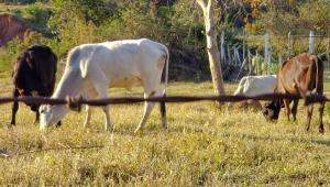 Quatro bois pastam em propriedade rural no interior de São Paulo