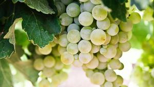 Close em cacho de uvas brancas