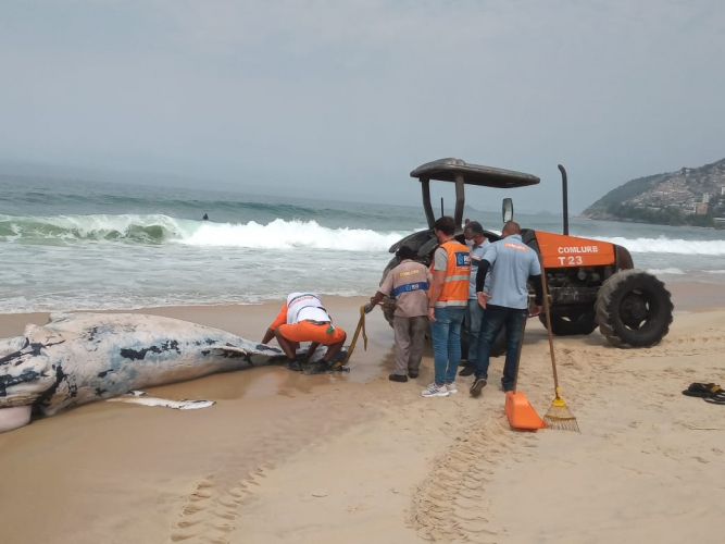 whatsapp image 2021 09 18 at 11.24.41 3 Whale samples found dead on Leblon beach will be analyzed by technicians from UERJ; see photos – Young Pan