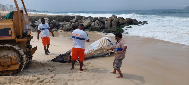 whatsapp image 2021 09 18 at 11.24.41 Whale samples found dead on Leblon beach will be analyzed by technicians from UERJ; see photos – Young Pan