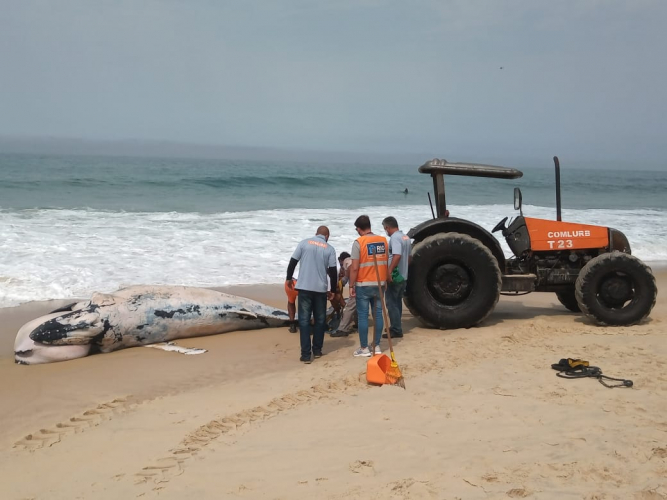 whatsapp image 2021 09 18 at 11.24.42 2 Whale samples found dead on Leblon beach will be analyzed by technicians from UERJ; see photos – Young Pan
