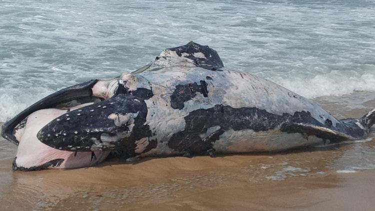 Whale found dead on Leblon beach