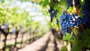 Cacho de uva em primeiro plano em um vinhedo