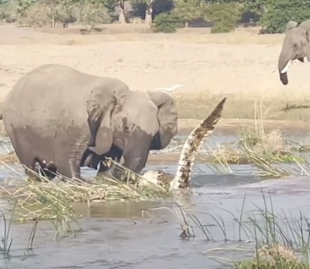 Elefante ataca crocodilo em mata na Zâmbia